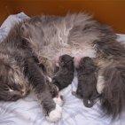 femelle maine coon Zetta Jones et ses chatons