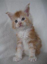 Je suis disponible à la reservation je m'appelle Mojito et j'ai 5 semaines, photos page mes chatons portée 1