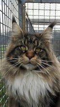 RASCOON LORD est l'heureux papa des chatons de Madison, il en est très fièr ;-)