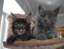Un coucou de Maestro et Mx de Lounycat ici à 7,5 semaines !