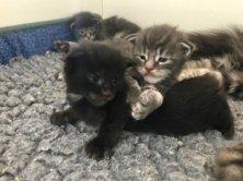 Les chatons de Nexya sont nés! 3 mâles et une femelle ici un petit mâle noir et une femelle bleue silver. Les photos individuelles seront en lignes autour du 19 septembre pour les réservations .
