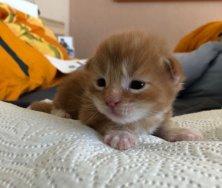 Oggy de Ice-coon 2 semaines disponible chez mon amie Corinne voir son site dans mes liens. Papa Naboo de Lounycat!