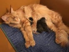 Madison a donné naissance le 3 mai à 1 mâle et 3 femelles  félicitations les photos seront bientôt en ligne.