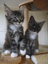 magnifiques chatons Maine coon Iron et Inola 10 semaines
