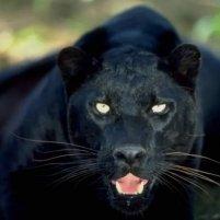 Voilà un magnifique Black Jaguar en espérant que Jaguar Black devienne aussi beau mais il est bien parti pour être aussi beau juste avec de plus grandes oreilles :-)
