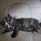 5 semaines femelle maine coon