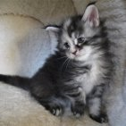 5 semaines femelle Maine-coon