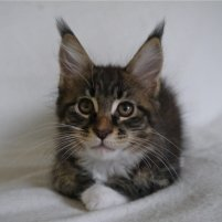 FEMELLE maine coon 10 semaines