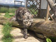 Leader de Lounycat 1,5 ans recherche une gentille famille, il est super câlin et s'entend bien avec les chats et chiens.