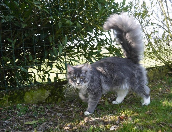 Elevage de chats maine coon lounycat yverdon vaud suisse for Vive le jardin montaigu