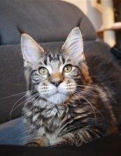 Lonely de Lounycat vraiment je suis fier de ce magnifique chaton et me réjouis de suivre son évolution puisque qu'il participera aux expositions dans sa nouvelle famille.