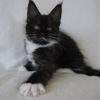 8 semaines  femelle maine-coon