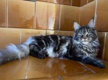Moana Angel Savage 11 mois déjà femelle de couleur black silver venant de Russie.
