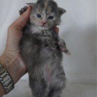 2 semaines petite femelle maine coon