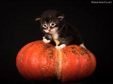 Mykado de Lounycat vous annonce que les chatons naissent dans les courges :-)