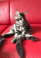 mais quel position mon petit Naboo  :-)  fils de Touch me et de Maestro ici 12 semaines portée du 5 juin 2017
