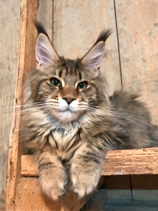 elevage de chats maine coon lounycat suisse chat maine coon. Black Bedroom Furniture Sets. Home Design Ideas