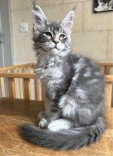 Départ de Nolwen je lui souhaite beaucoup de bonheur dans sa nouvelle famille et de magnifiques chatons maine coon pour l'année prochaine.