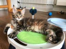 Okala de Lounycat 11 semaines et bientôt le départ :-(