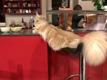 One Million de Lounycat mâle Maine coon 11 mois et la même attitude que sa grand-maman Louny il aime les bars :-)))