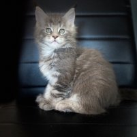 petite femelle MainCoon trop mimi 7,5 semaines