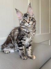 Ravenne de Lounycat 13 semaines reste dans mon élevage car je la trouve vraiment belle ;-)