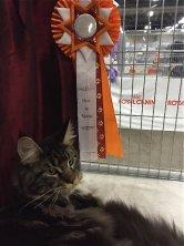 Tobias dit Tchouky Emilitacoon a remporté le BEST IN SHOW ! de la spéciale Maine coon à L'exposition Internationale de la Chaux de Fonds le samedi 21 mars et aussi le BEST IN VARIETE ! Félicitations!