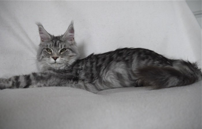 Poids maine coon male 6 mois
