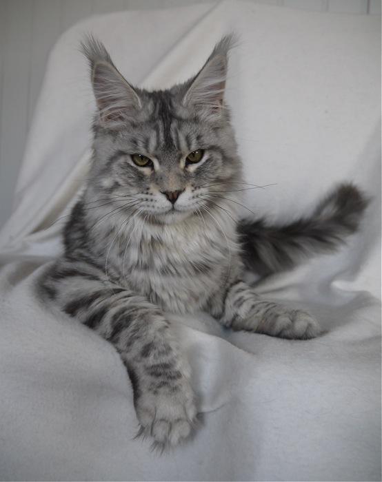 Elevage de chats maine...