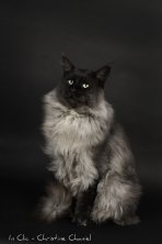 Yoxbow Black Eldorado l'arrière arrière grand-père d'Ornelaia de Lounycat