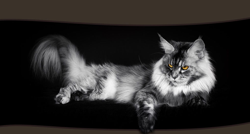 images de chats maine coon. Black Bedroom Furniture Sets. Home Design Ideas