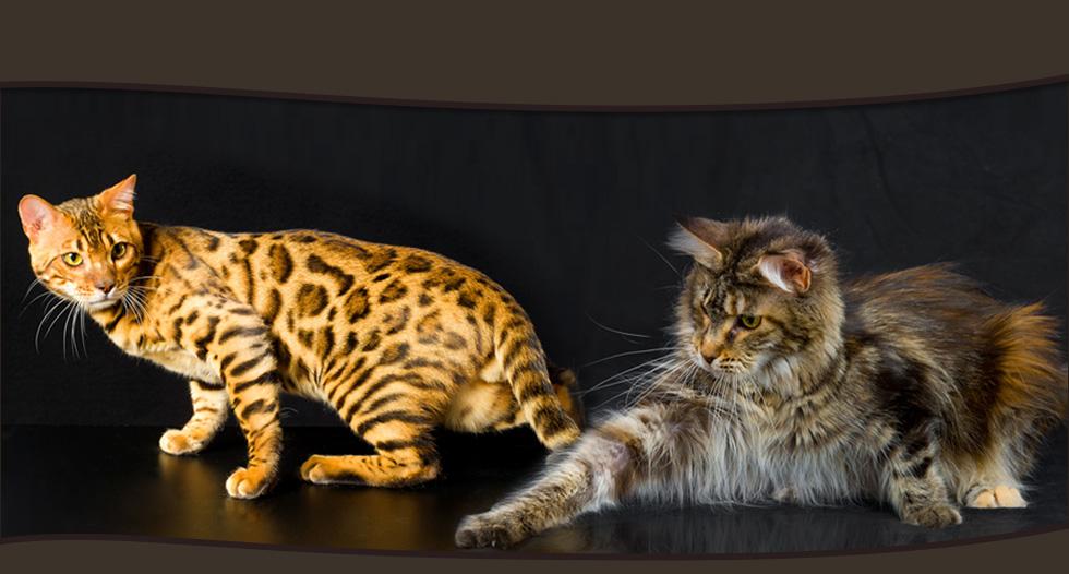 Elevage de chats maine coon lounycat suisse news - Combien de portee par an pour un chat ...