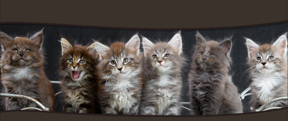 elevage chatons mainecoon