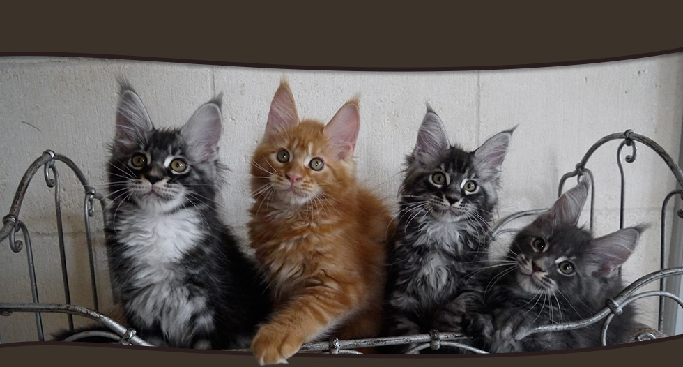 Chatons Maine Coon A Vendre Elevage Lounycat Suisse Chaton Maine Coon